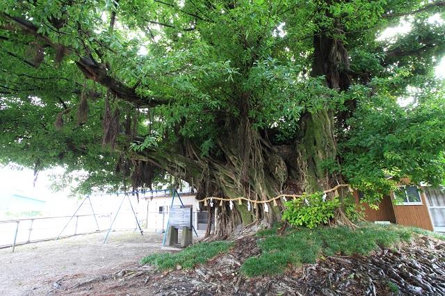 永目神社のアコウの木